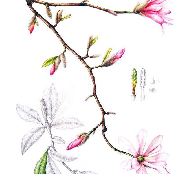 Magnolia x loebneri Leonard Messel - Leigh Ann Gale